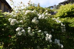 Reeves spirea blossoms. / Spiraea cantoniensis royalty free stock photo