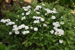 Reeves spirea blossoms. / Spiraea cantoniensis royalty free stock images