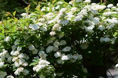 Reeves Spirea. An elegant flower with white florets gathered `Reeves Spirea Stock Images