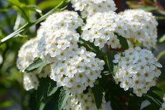 Reeves Spirea. An elegant flower with white florets gathered `Reeves Spirea royalty free stock photo