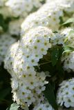 Reeves Spirea. An elegant flower with white florets gathered `Reeves Spirea stock photos