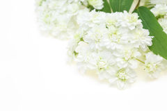 Reeves spirea Stock Images