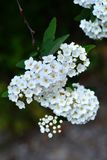 Reeves Spirea. White flowers - Latin name - Spiraea cantoniensis Lour royalty free stock photography