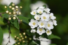 Reeves Spirea. White flowers - Latin name - Spiraea cantoniensis Lour stock photography