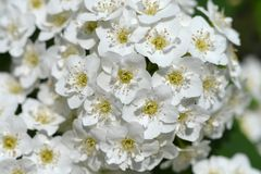 Reeves Spirea. White flowers - Latin name - Spiraea cantoniensis Lour stock photos