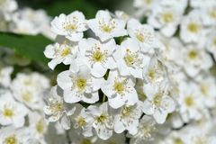 Reeves Spirea. White flowers - Latin name - Spiraea cantoniensis Lour royalty free stock photos