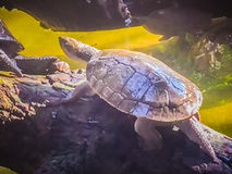 Reeves turtle or Chinese pond turtle (Mouremys reevesii) is semi. Aquatic turtle that like to basks in the sun on rock or log stock photos