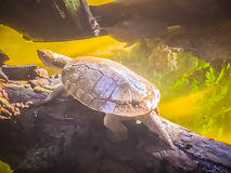 Reeves turtle or Chinese pond turtle (Mouremys reevesii) is semi. Aquatic turtle that like to basks in the sun on rock or log royalty free stock photography