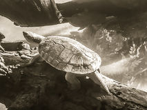 Reeves turtle or Chinese pond turtle (Mouremys reevesii) is semi. Aquatic turtle that like to basks in the sun on rock or log stock image