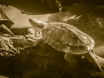 Reeves turtle or Chinese pond turtle (Mouremys reevesii) is semi Royalty Free Stock Image