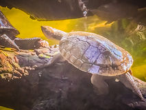Reeves turtle or Chinese pond turtle (Mouremys reevesii) is semi. Aquatic turtle that like to basks in the sun on rock or log stock photography
