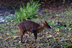 Reeves's muntjac Stock Images