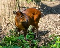 Reevess femelles Muntjac ou cerfs communs d'écorcement chinois photos stock