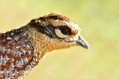 Reevess Pheasant Arkivbilder