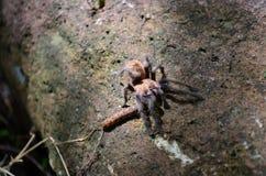 Refeição da aranha Imagens de Stock