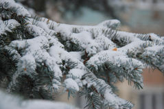Refeição matinal congelada do pinho Fotografia de Stock