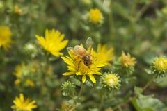 Refeição matinal da abelha Foto de Stock