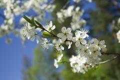 Refeição matinal da cereja Imagens de Stock Royalty Free