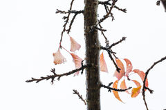 Refeição matinal da cereja e folhas permanecendo no outono 5 Fotografia de Stock