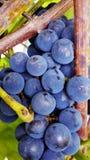 Refeição matinal da uva no vinhedo imagens de stock