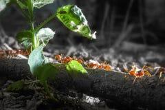 Refeição matinal das formigas Imagem de Stock
