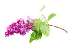 Refeição matinal de flores lilás Foto de Stock Royalty Free