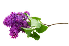 Refeição matinal do lilás Imagem de Stock Royalty Free