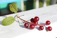 Refeição matinal madura das cerejas Imagem de Stock Royalty Free