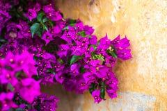 Refeição matinal roxa/magenta da buganvília no fundo da parede velha Foto de Stock