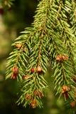 Refeição matinal Spruce Imagens de Stock Royalty Free