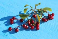 Refeições matinais maduras 2 das cerejas Fotografia de Stock