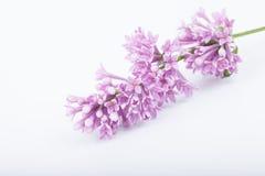 Refeição matinal de flores lilás no fundo branco Fotos de Stock
