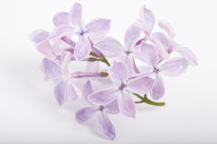 A refeição matinal pequena do lilás floresce o close up no fundo branco Fotos de Stock
