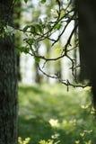 Referência 61631559 numéricos - ramo de árvore de Apple com flores em botão Fotos de Stock Royalty Free