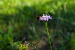 Referens-växten av släktet Trifolium i äng med ett bi Royaltyfri Bild