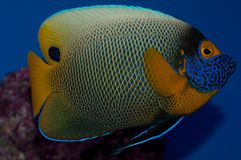 Blue face Angelfish. Referred to variously as the Blueface, Yellowface, or Yellowmask Angelfish, the adult and juvenile Blueface Angelfish differ markedly in stock images