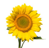 Refined glome of sunflower. On isolated fone Royalty Free Stock Photography