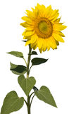 Refined sunflower isolated. Refined sunflower on isolated fone Stock Images