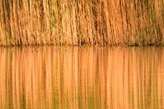 Refléter de la canne jaune sur le lac d'eau de surface photo libre de droits