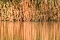 Refléter de la canne jaune sur le lac d'eau de surface image libre de droits
