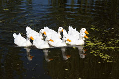 Reflecred group of white geese Royalty Free Stock Image