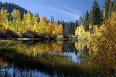 Reflected Autumn Aspen Trees Royalty Free Stock Photo