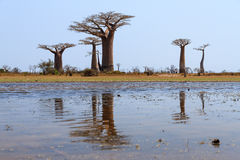 Reflected Baobabs Stock Photos