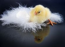 Reflected chick. Little yellow easter chick looking at its own reflection against a black background Stock Photography