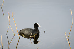 Reflected Coot Royalty Free Stock Photos