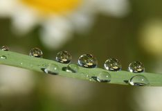 Reflected in dewdrops 1. Early morning. Вew drops still wet.  On the grass in drops of dew reflected field with daisies. Reflection did not appear in all the Royalty Free Stock Photography