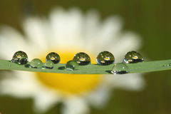 Reflected in dewdrops 2. Early morning. Вew drops still wet.  On the grass in drops of dew reflected field with daisies. Reflection did not appear in all the Royalty Free Stock Images
