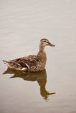Reflected duck Stock Images
