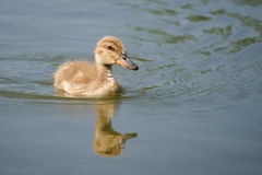 Reflected duckling. There is a reflected young mallard in the photo Stock Image