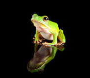 Reflected green tree frog Stock Photography